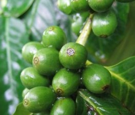 Green Coffee Beans unroasted