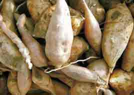 what is yacon root