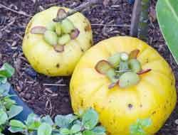 Garcinia cambogia fat burning fruit or Monkey friut