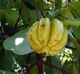 Garcinia cambogia